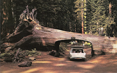 Man and the tree drive thru but not at mcdonalds at approximately 6 wide by 69 high there is ample space for the cars of today to pass through the tunnel the chandelier tree can be found at legett mozeypictures Image collections