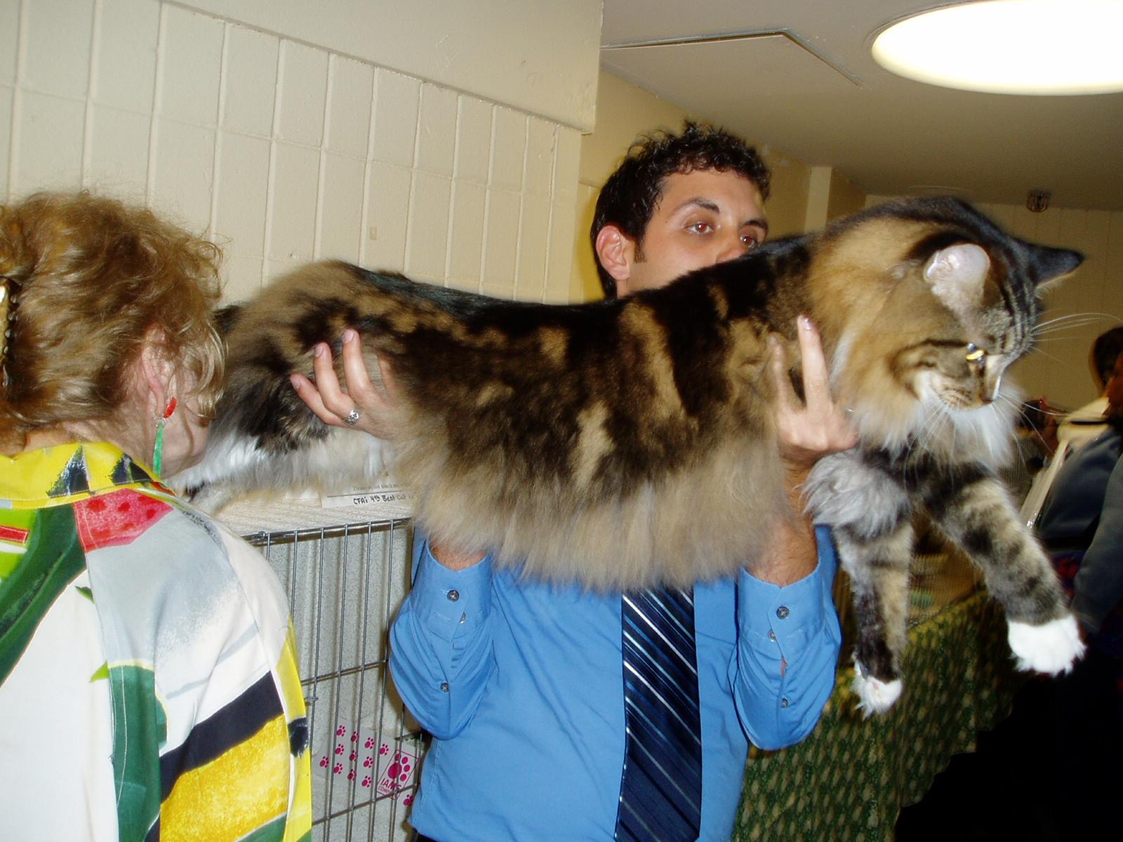 shurmanos necesito ayuda con gatos grandes ocicat y