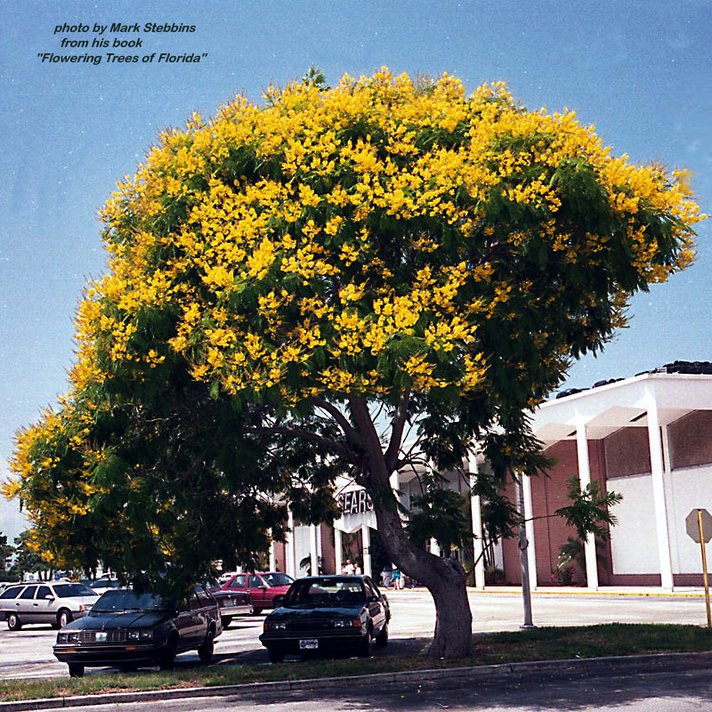 Welcome to the dwarf and the giant a tale of confusion one yellow poinciana peltophorum dubium mightylinksfo
