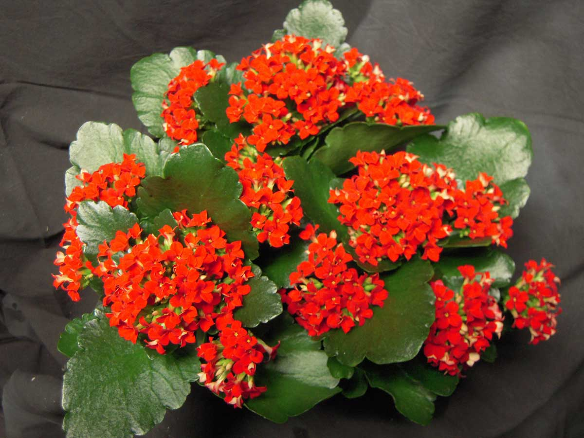 Red Kalanchoe Plant Leaves