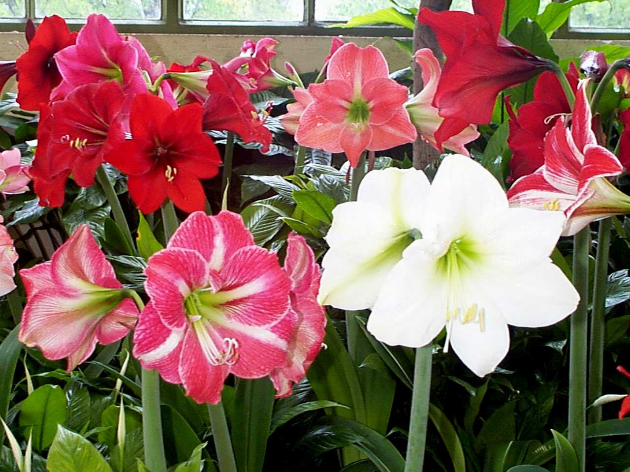 Welcome to for Amaryllis hippeastrum