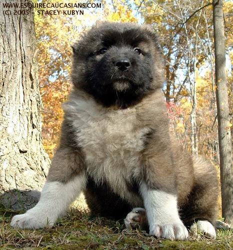 Dog Directory: 高加索牧羊犬 Caucasian Mountain Dog