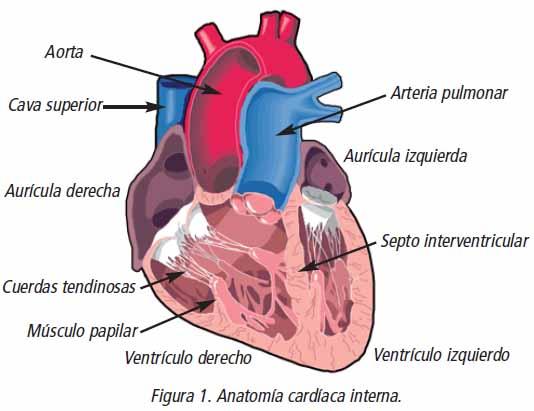 Anatomía Y Fisiología Cardíaca: Anatomía cardíaca ~ Todo De Libros
