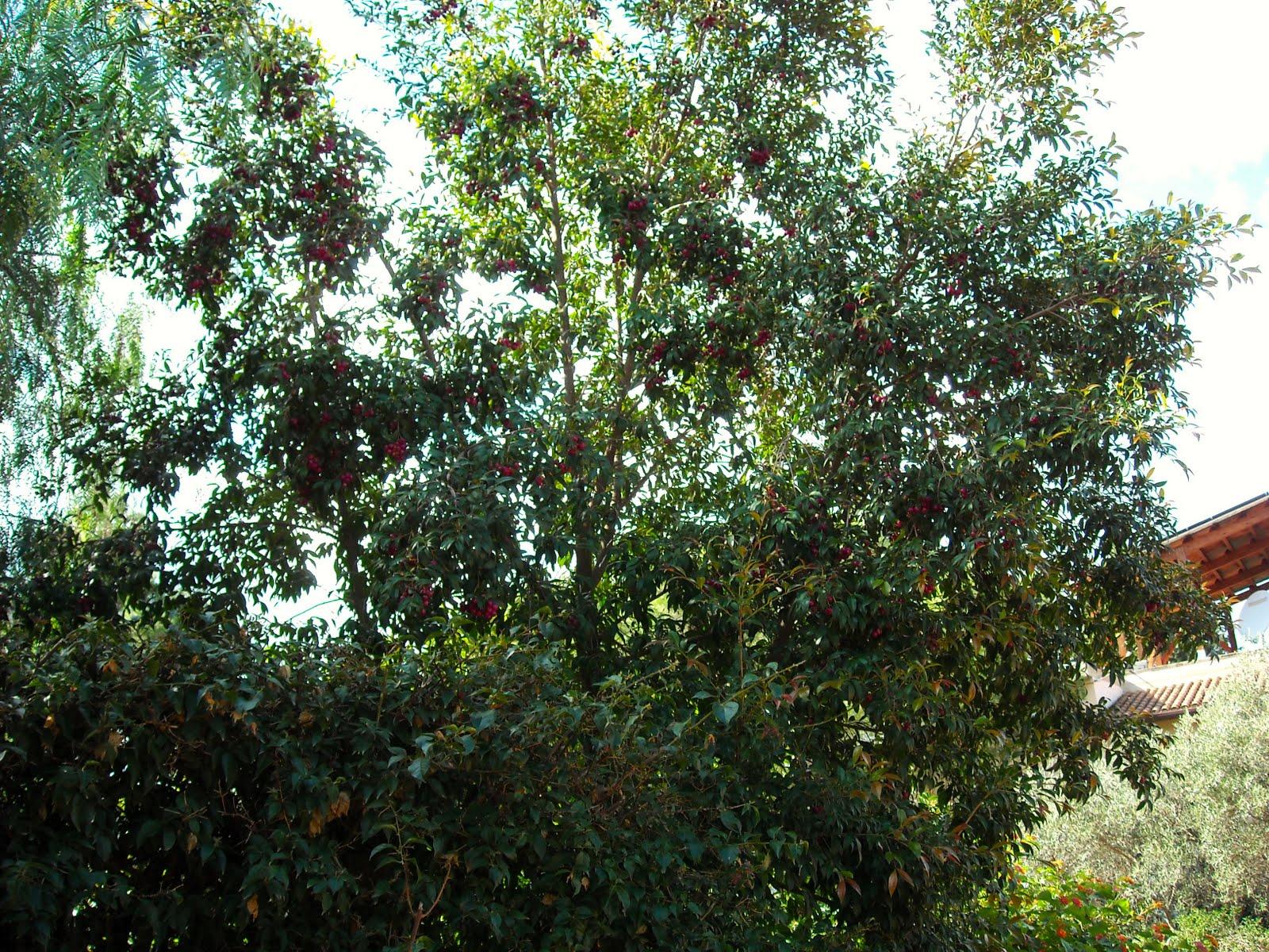 Eugenia myrtifolia questa sconosciuta furighedda gardening for Pianta eugenia