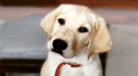 marley and me puppy years. photo source: here (the puppy