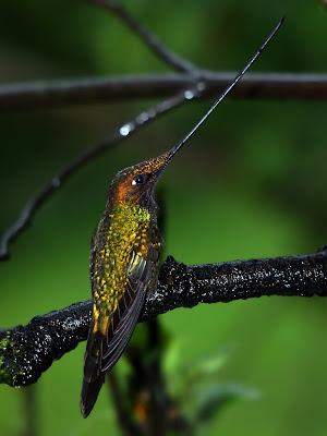 colibrí pico de espada