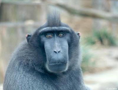 mono negro