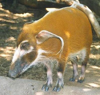 cerdo de río