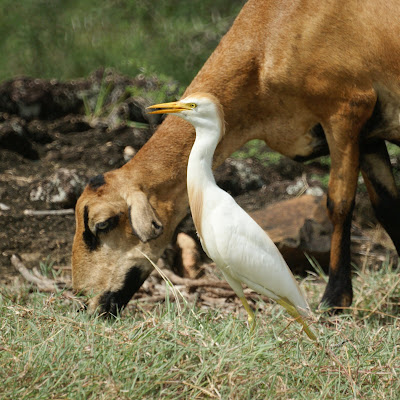 Cattle Egret & Goats