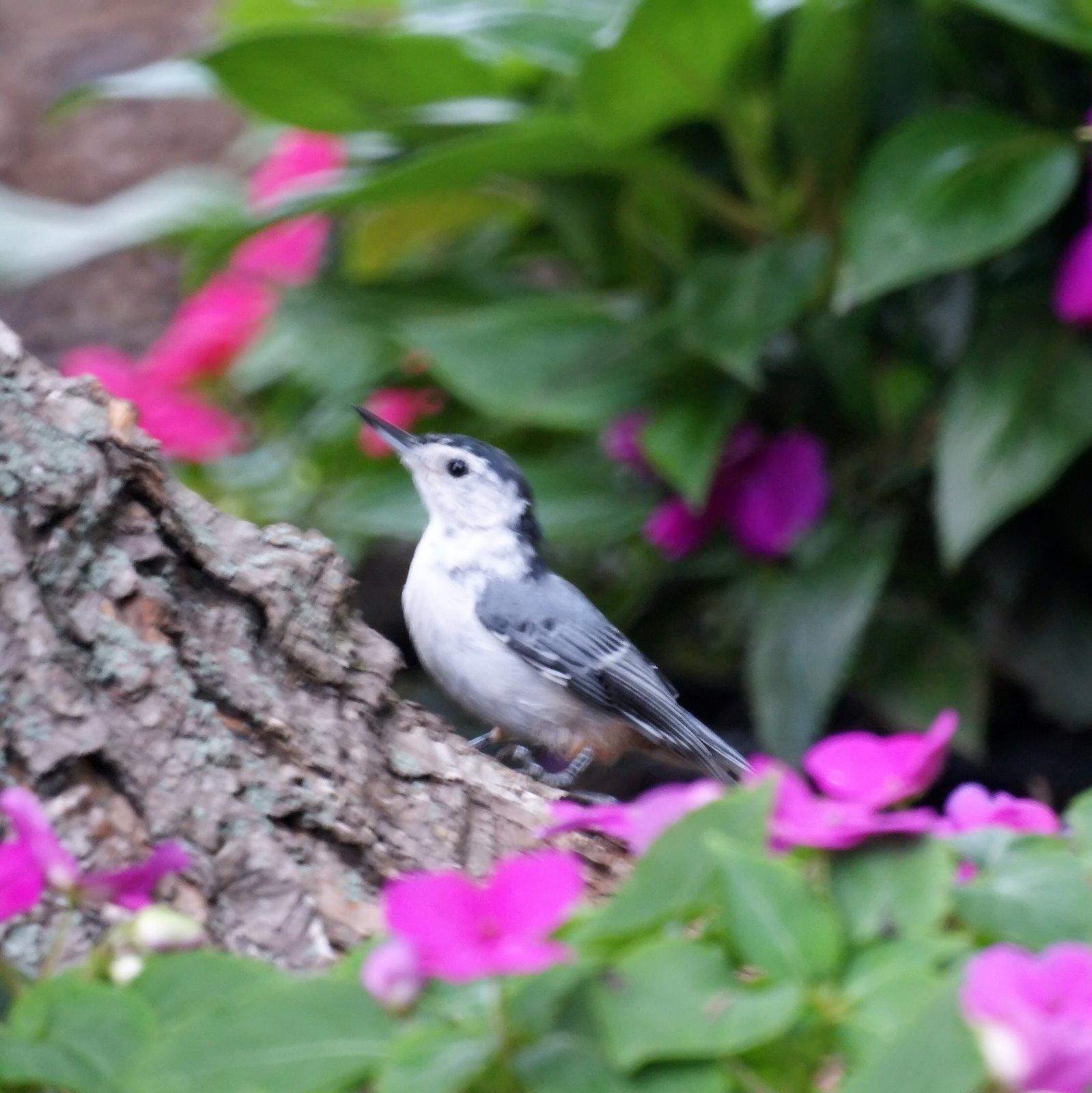 Summer Backyard Birds In New Jersey- New Jersey Bird Photos