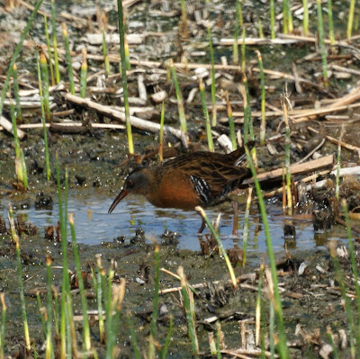 Virginia Rail