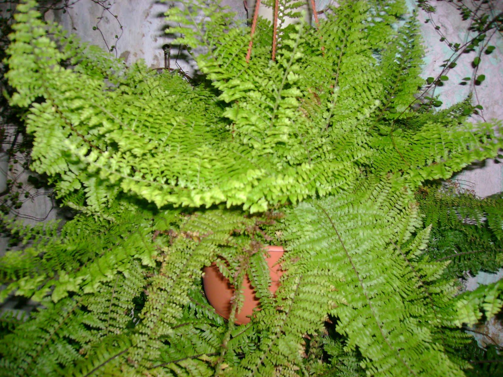Helechos for Plantas y jardines