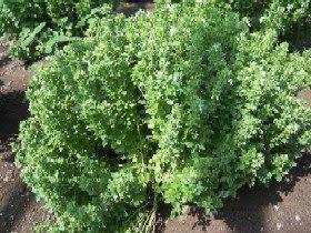 albahaca enana, variedad nana