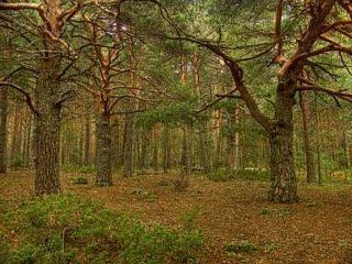 bosque de valsaín,pinar de valsaín,valsaín
