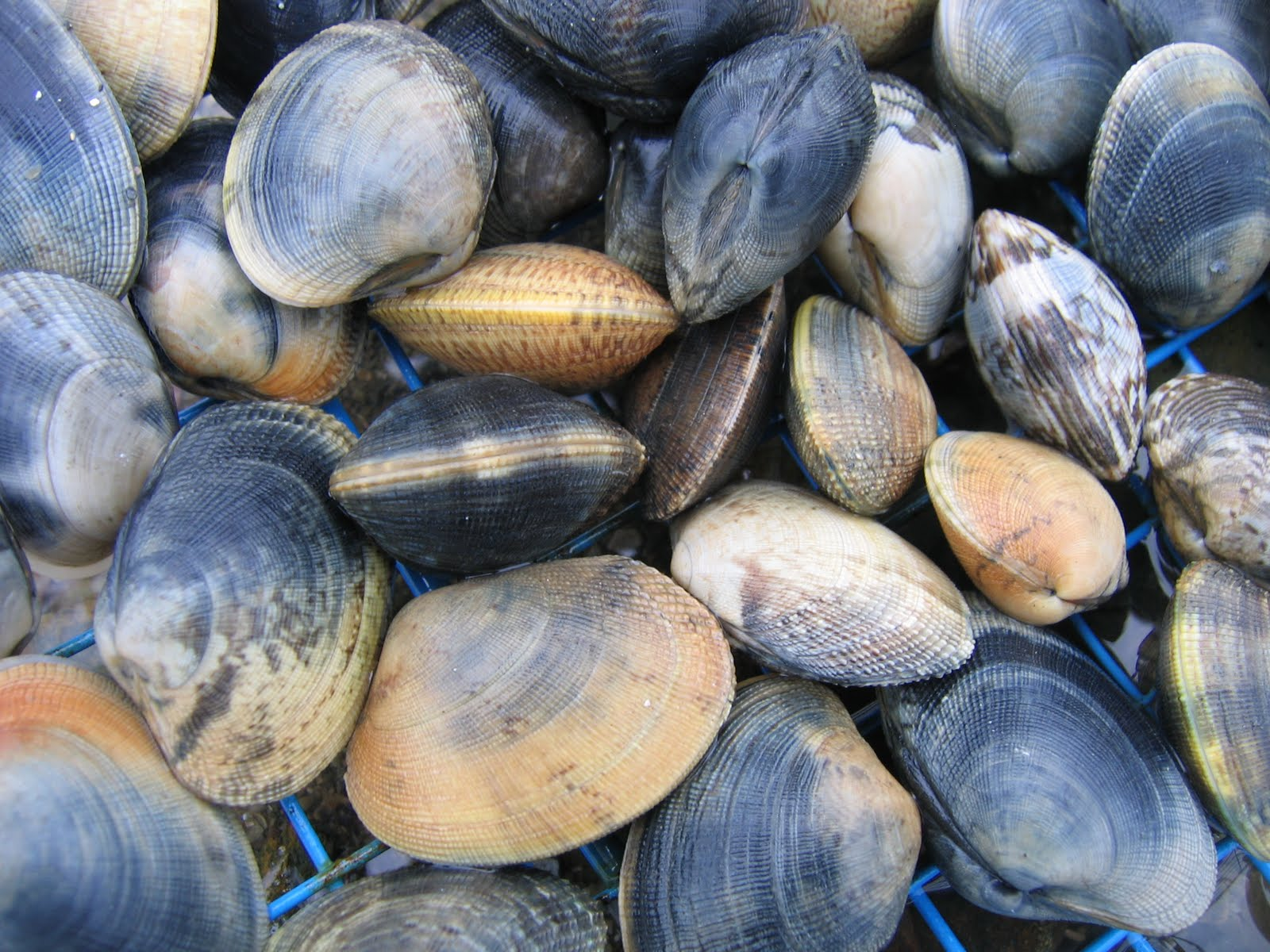 Mille pompons palourdes bretonnes for Cuisiner des palourdes