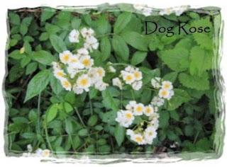 Fragrant Dog Rose Uk