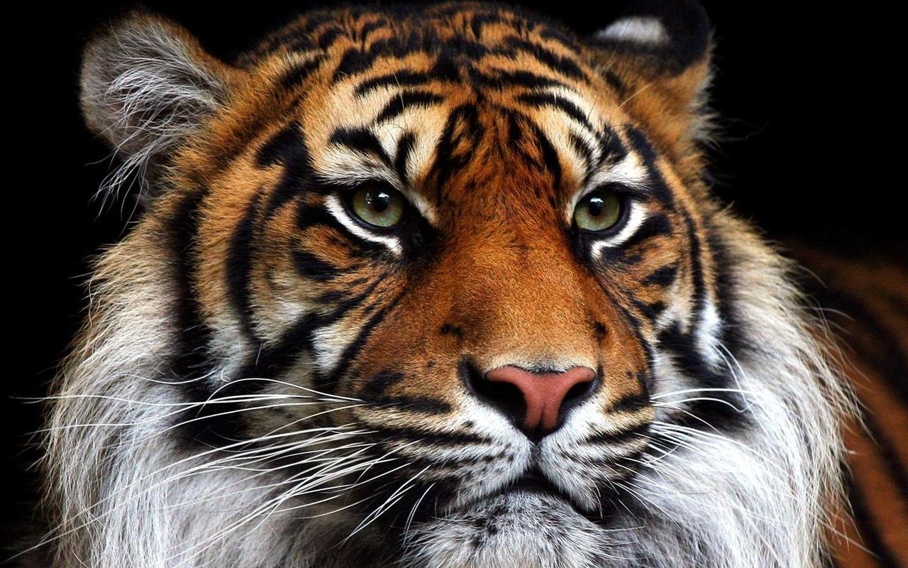 Fondos de Tigres - Wallpapers de Tigres