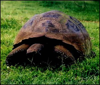 kura kura galapagos terbesar di dunia