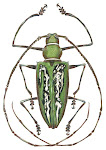 New Guinea Long Horned Beetle