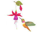 Fuschia & Hummingbird
