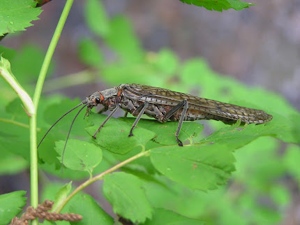 Adult Salmonfly