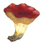 Shrimp Russula Mushroom