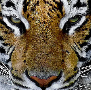 Eye of the tiger 1