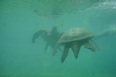 Musée Kélonia, île de la Réunion (musée des tortues marines)