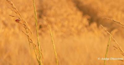 France - Le blé & la coccinelle - Tarn-et-Garonne