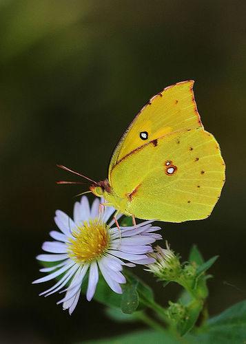 Yellow Butterflies.