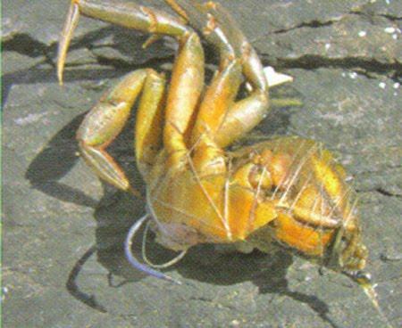 Stecker vum klengen Crab sin och ganz gudd, wann et heescht, een scheinen Bar fenken