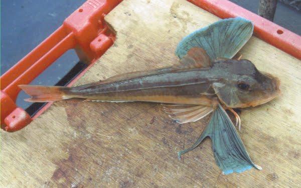 """Een  """"tube gurnard"""". Op Deitsch heescht hien """"blauer Knurrhahn"""". Desen ass ee """"specimen fish""""."""