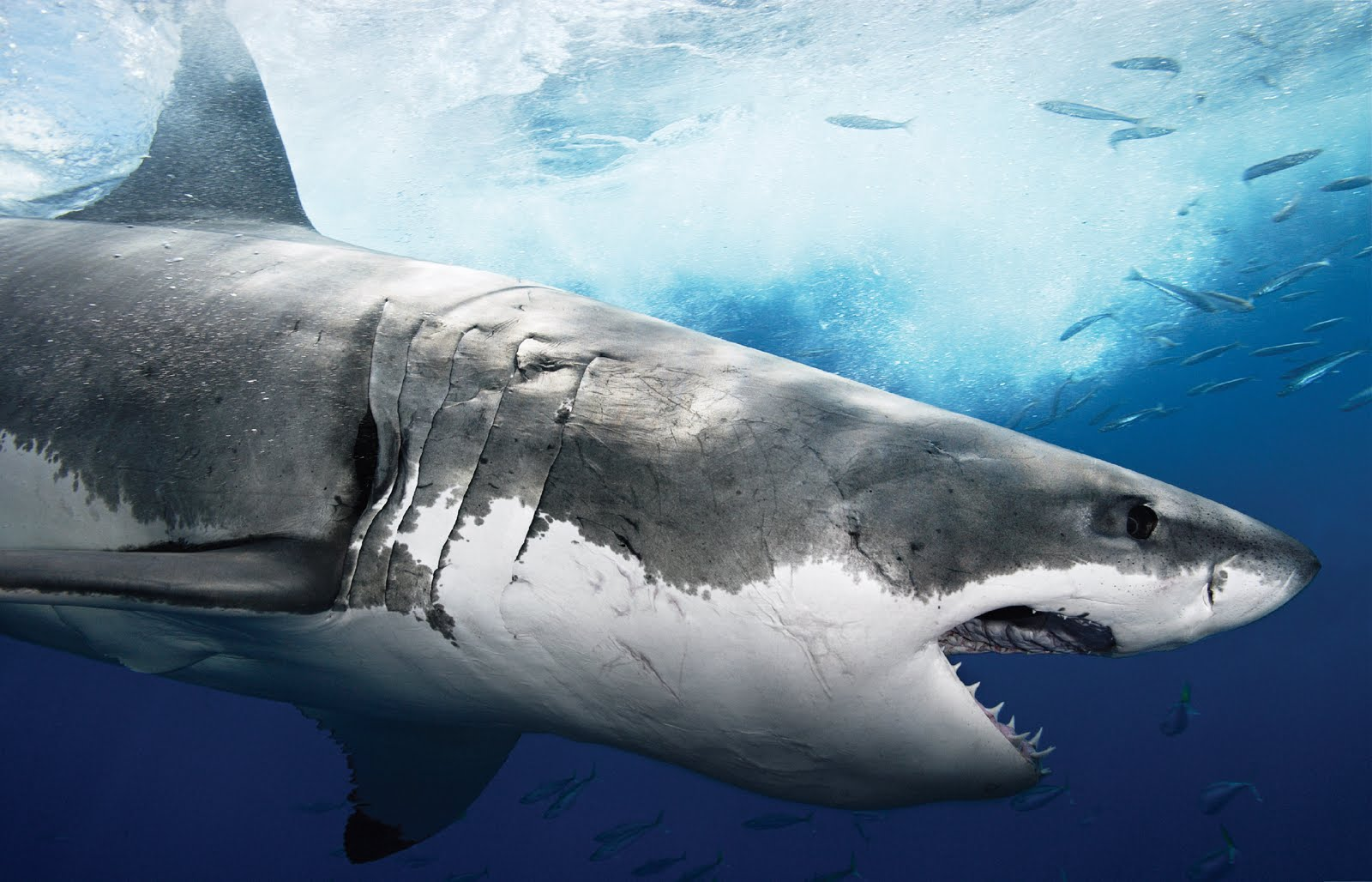 The Great White Shark | Sharks High Definition Backgrounds, Marine, Sea,