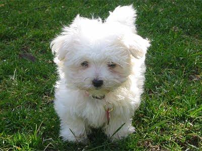 wallpaper cute puppy. Very Cute Puppies Wallpaper