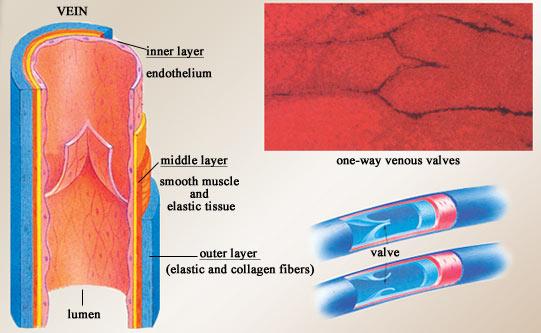 Spirhayrice  Arteries Veins And Capillaries Diagram