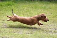 Ari, Dr. Beleeve's dachshund