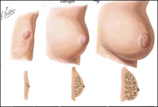 4 stages of breast development photos