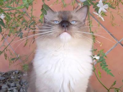 gato orondo
