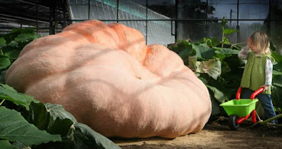 Giant Pumpkin Weighs More Than A Car Seen On www.coolpicturegallery.us