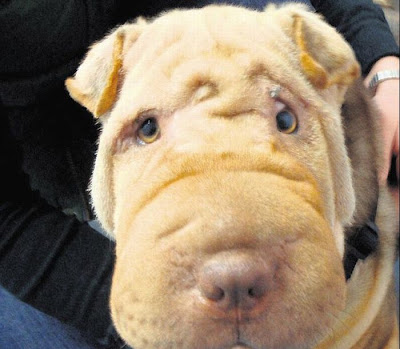 Shar Pei After Facelift Seen On www.coolpicturegallery.us