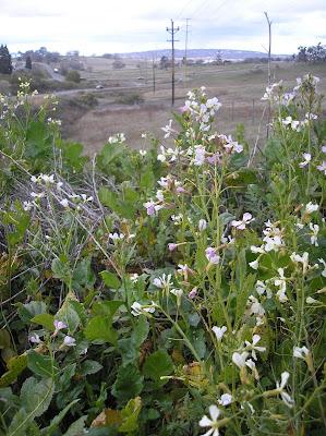 Wild Radish California