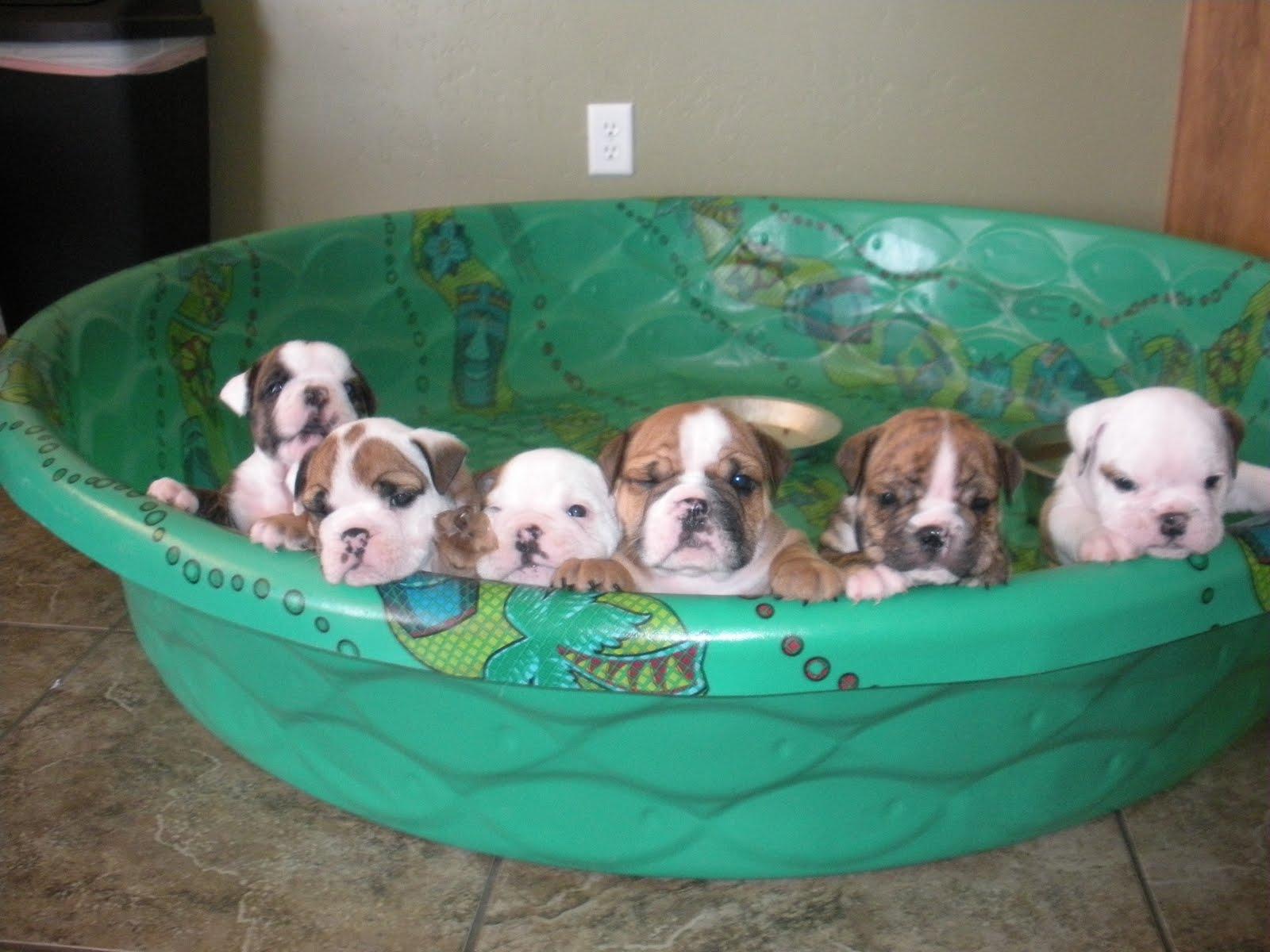 Gubler Crew Almost 6 Week Old English Bulldog Puppies