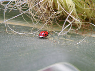 Ladybug in the corn