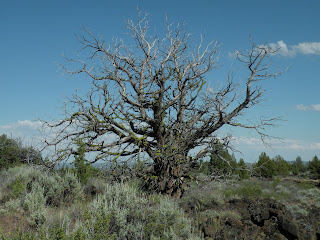 Lava Beds National Monument, juniper skeleton