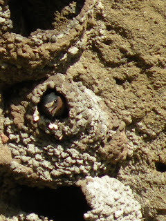 Lava Beds National Monument, close up of nesting swallow at Petroglyph Point