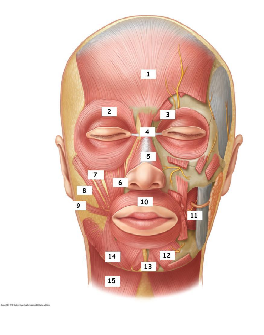 Bonito Anatomía Facial Composición - Imágenes de Anatomía Humana ...