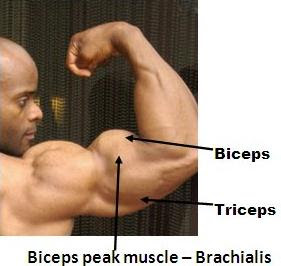 brachialis helps peak biceps Massive Arms Crazy Biceps Part 1