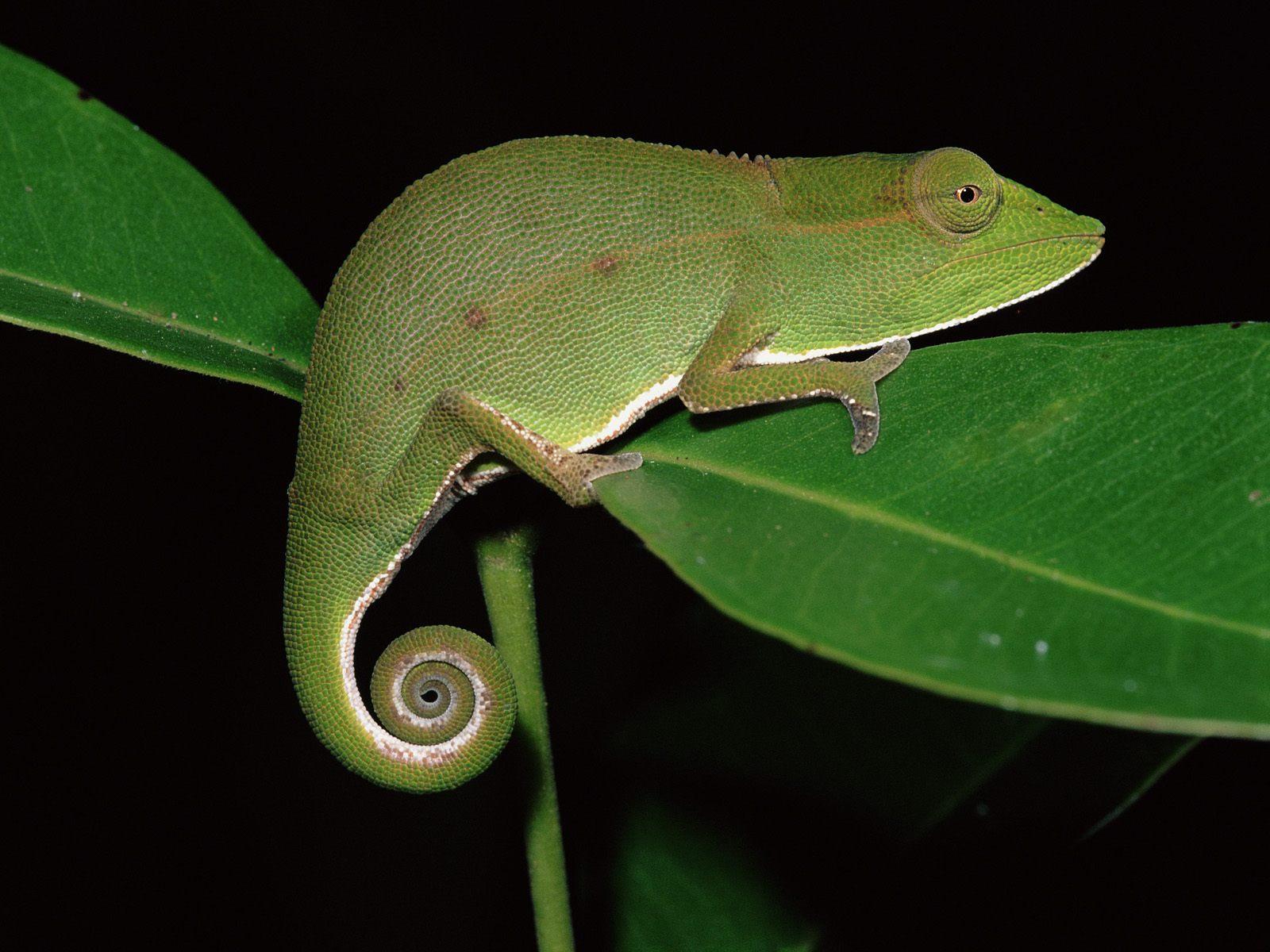 Foto Iguana dan Bunglon