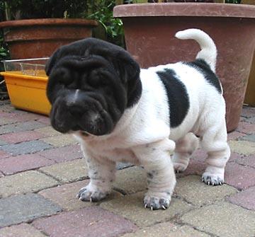 Shar Pei Dog Puppies