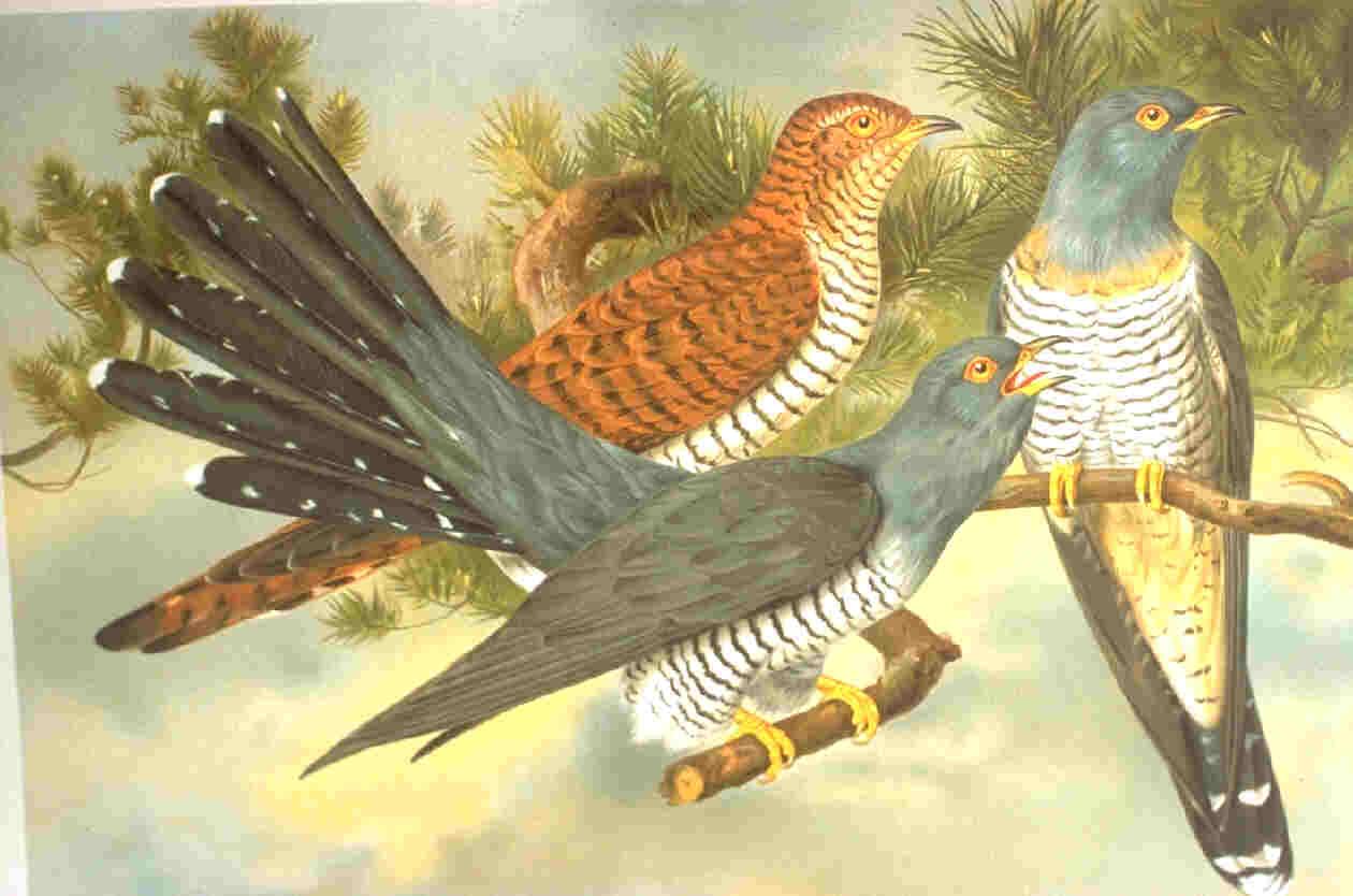 The familiar Common Cuckoo has
